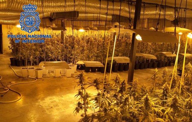 Cultivo de marihuana incautado en Don Benito