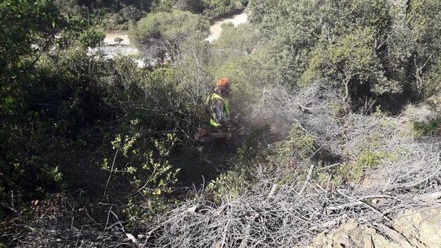 Treballs forestals de trituració dels restis vegetals afectades per l?escolítid Tomicus destruens al Parc de la Serralada de Marina.