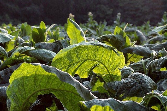 Plantas de tabaco modificadas genéticamente podrían reducir los costos de las pr