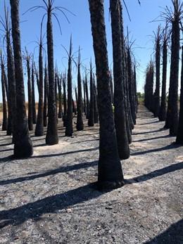 Palmeras calcinadas en Daya Nueva (Alicante)