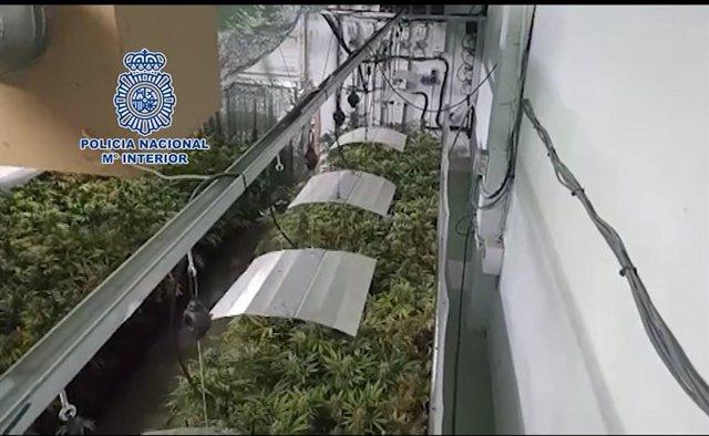 Imágen de vídeo publicat per la Policia Nacional de la plantació de marihuana oposada en província barcelona