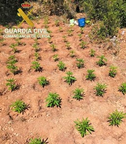 Plantació de marihuana a Os de Balaguer