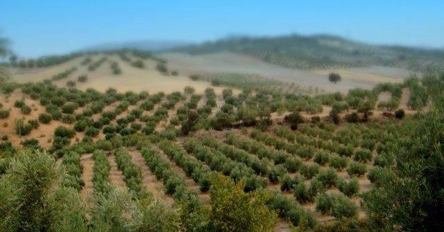 Olivos en Huelva.