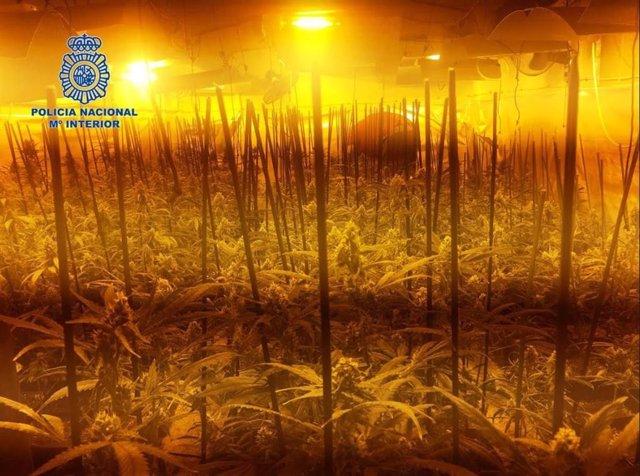 Sucesos.- Dos detenidas por cultivar 600 plantas de marihuana en una parcela de