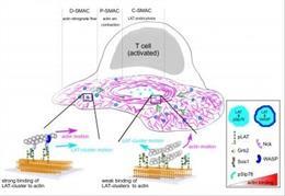 Esquema que representa el 'embrague' molecular que está en acción durante la activación de las células T