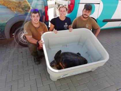 Baleària traslada a Palma a la tortuga rescatada en la zona de Es Freus
