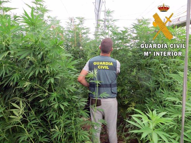 Plantación de marihuana localizada por la Guardia Civil entre un cultivo de tomates en Albuñol (Granada)