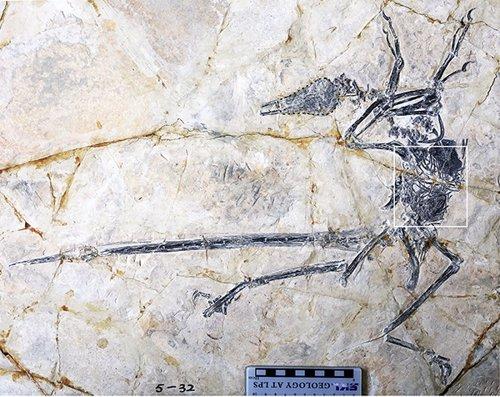 Nueva especiede laharto en el abdomen de un micro-raptor