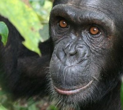 14 de julio: Día Internacional del Chimpancé, ¿por qué se celebra hoy esta efeméride?