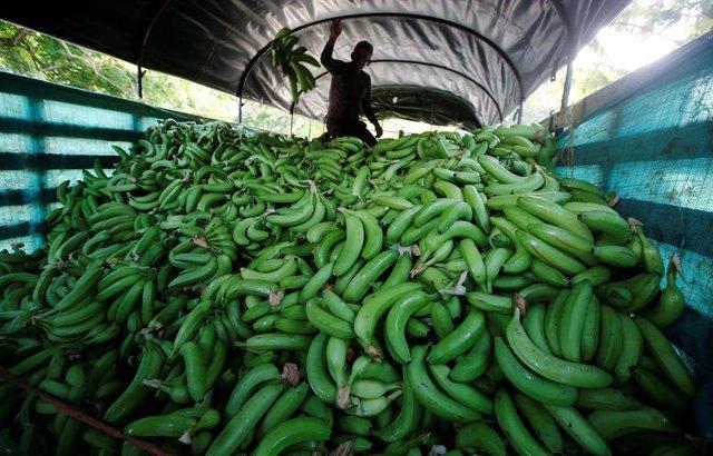 Un hombre colombiano trabajando en los cultivos de banana