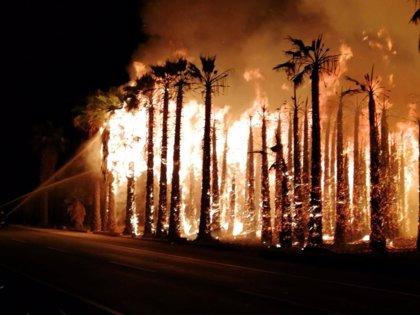 Detenido el presunto autor de los incendios en varios huertos que arrasaron miles de palmeras en el Camp d'Elx