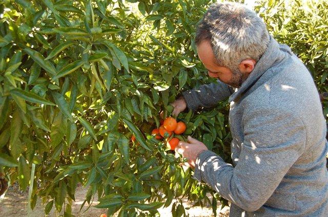 Agricultor en un campo de naranjas