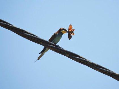 Localizan en Alicante un predador natural originario de Sudamérica, una plaga que afecta al palmeral