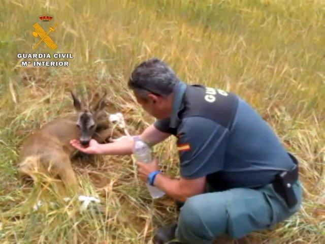 El Seprona auxilia a una cría de corzo herida de bala