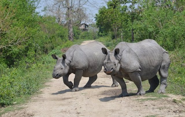Dos ejemplares de rinoceronte unicornio en el Parque Nacional Kaziranga, en India