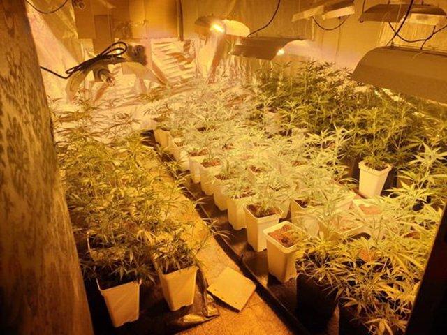 Imagen de las cien plantas de marihuana intervenidas por la Policía local de Getafe en un piso de la localidad.