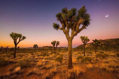 Los árboles de Josué afrontan la extinción