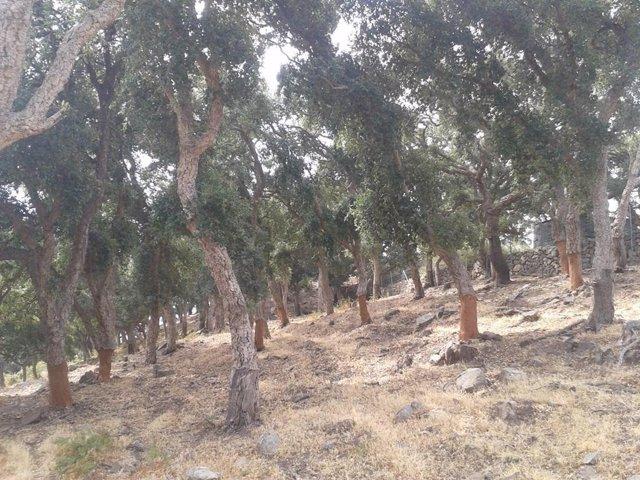 Descorche de árboles en el monte Majadal Alto
