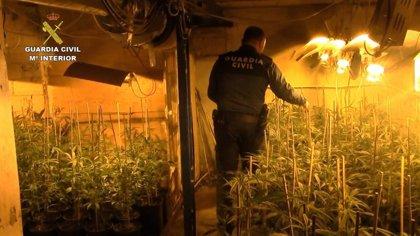 Once detenidos tras desmantelar un cultivo con más de 2.100 plantas de marihuana en La Carlota (Córdoba)