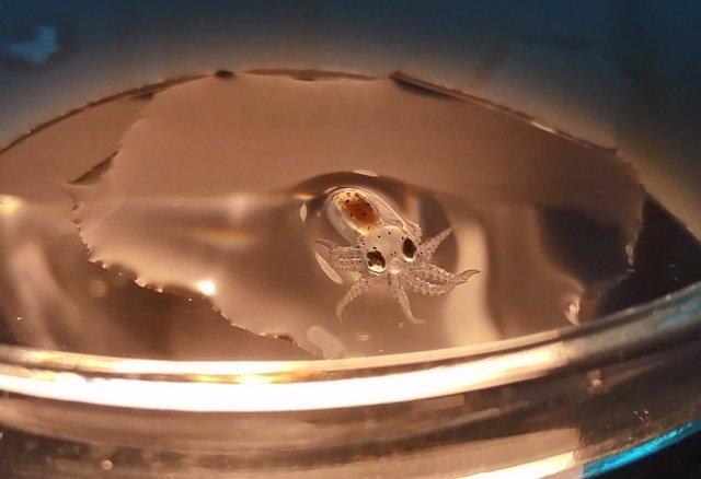Imagen de un pulpo en acuicultura