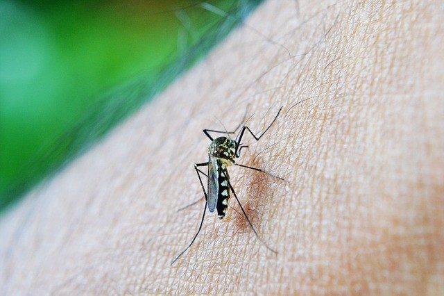 Imagen de un mosquito causante del dengue.