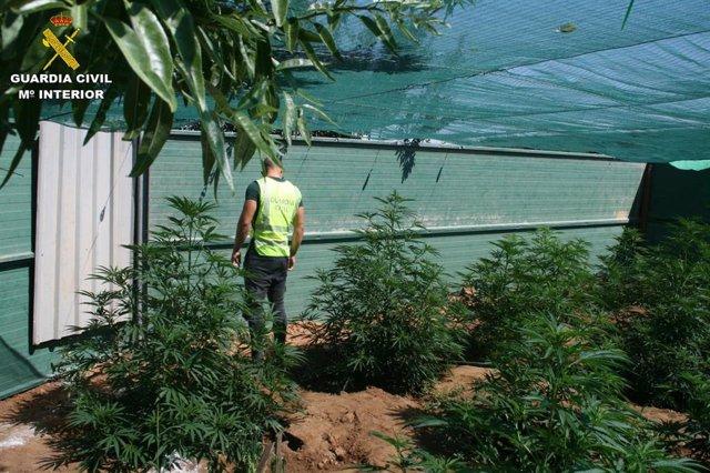 La Guardia Civil de Cuenca detiene a dos personas e investiga a otra por cultivo de drogas en las inmediaciones de la localidad de Arcas.