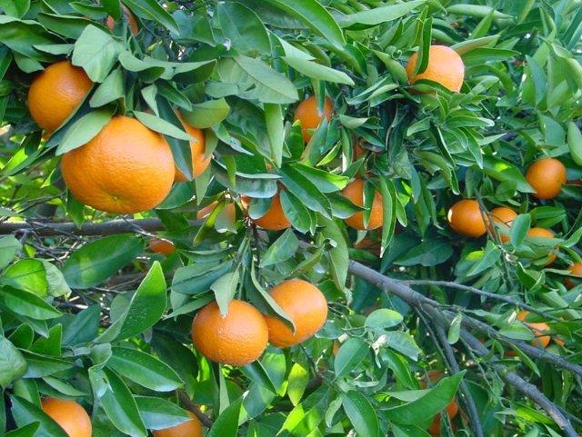 AVA-ASAJA prevé una reducción de la futura cosecha valenciana de cítricos cercana al 30%