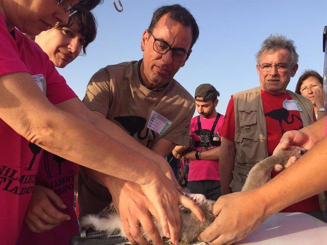 Huelva.- La Junta realiza el anillamiento de más de un centenar de pollos de fla