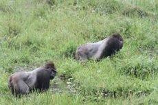 Científics de la UB estudiaran l'impacte de l'ebola en goril·les del Congo (WILDLIFE CONSERVATION SOCIETY.)