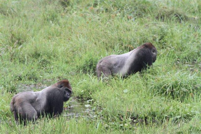 Gorilles, en una foto d'arxiu.