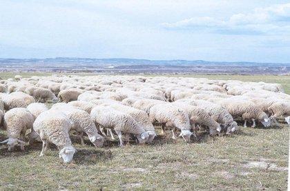 Identificada una nueva variante génica que incrementa el número de corderos por parto en la raza ovina Rasa Aragonesa