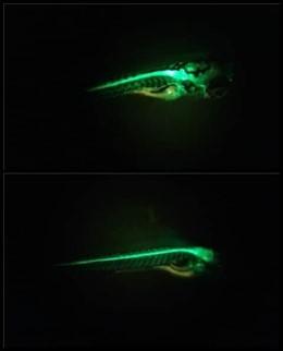 Esta es una larva de pez cebra de 5 días de edad, en la cual las neuronas motoras están marcadas con una proteína verde fluorescente.