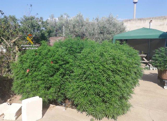 Plantas de marihuana localizadas por la Guardia Civil en una vivienda a las afueras de Campos (Mallorca).