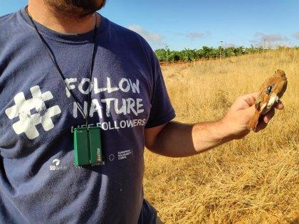 SEO/BirdLife marca con emisores alzacolas de viñedos de Doñana, en Huelva, para aumentar el conocimiento de la especie