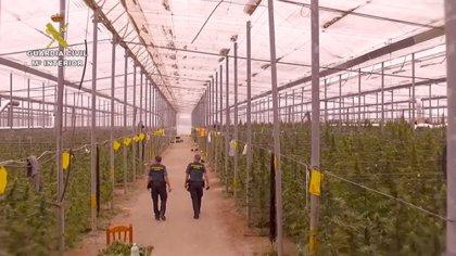 Un primer golpe policial obligó al traslado de Almería a Alicante a la red caída con 54.000 plantas de marihuana