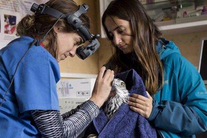 Control del topillo, el buitre negro y águila Bonelli centraron la actividad de Grefa durante 2018