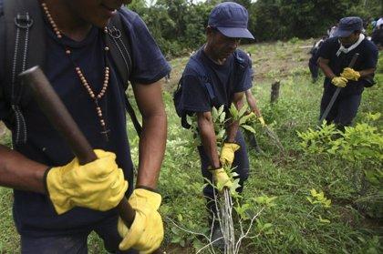 Campesinos colombianos se manifiestan a favor de la sustitución de cultivos ilícitos