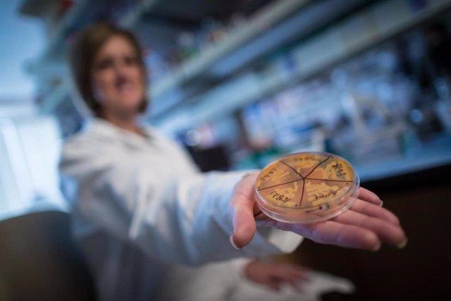 Una clase benéfica de bacterias, llamada Clostridia, evita que los ratones con un sistema inmunológico comprometido se vuelvan obesos.