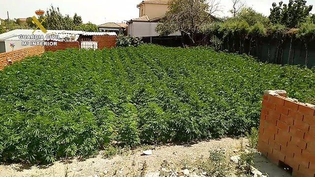 Plantación de marihuana descubierta por la Guardia Civil en Palomeque.