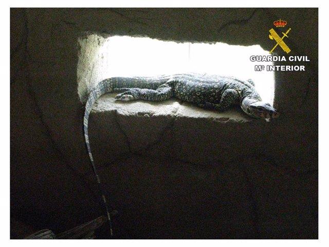 Lagarto rescatado en una operación contra el tráfico de especies en Alicante