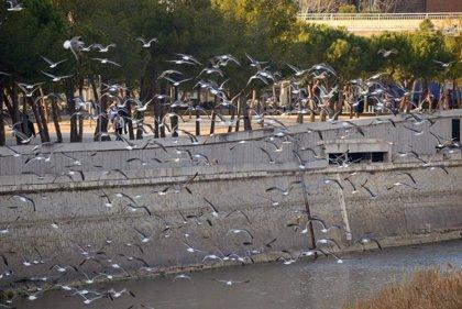 El plan de renaturalización del Manzanares continuará y se construirá un canal de remo fuera del río pero en Madrid