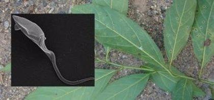 Un árbol endémico de Brasil puede servir para combatir la leishmaniasis y el Chagas