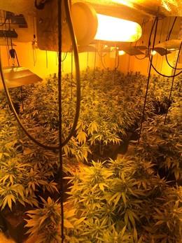 Plantas de marihuana decomisadas