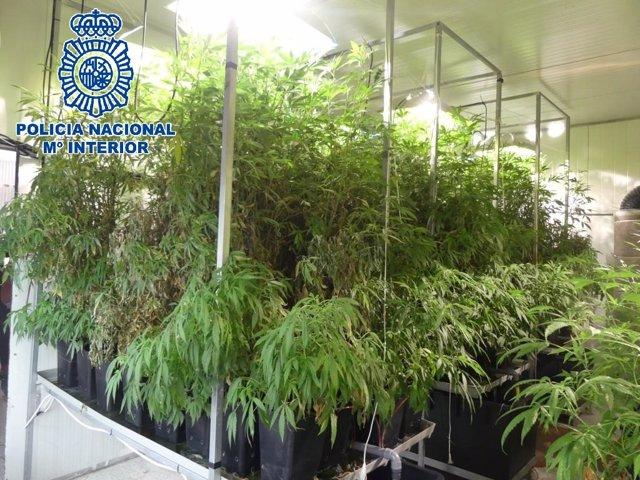 Plantación de marihuana intervenida en San Fernando