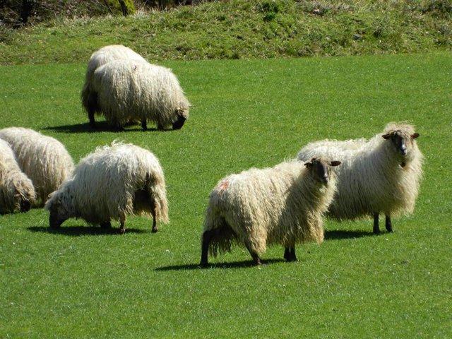 Imagen de un rebaño de ovejas.