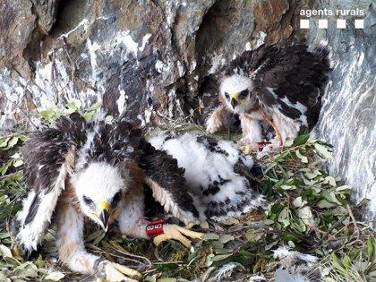 Detectan el primer nido con tres pollos de águila perdicera en diez años en Catalunya