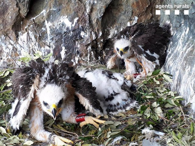 Pollos águila perdiciera