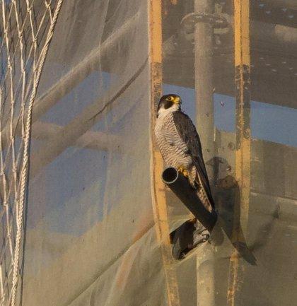 Un halcón peregrino vuelve la torre de la catedral del Buen Pastor, en obras desde el pasado abril
