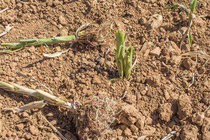 """La fauna salvaje """"arrasa diez hectáreas a la semana"""" en Aras de los Olmos"""