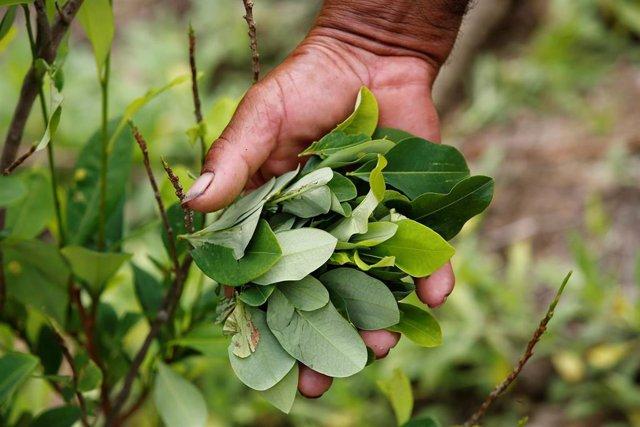 Cultivo de coca en Colombia